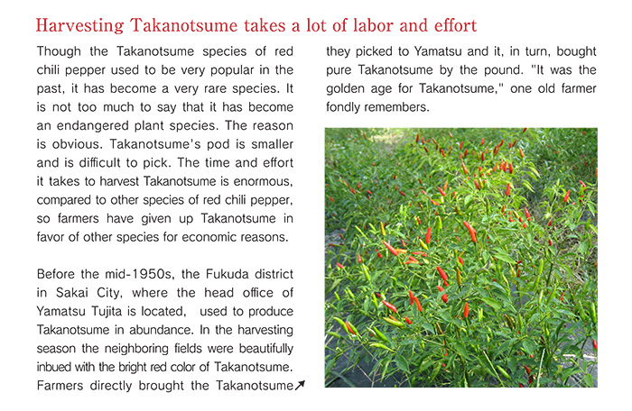 Harvesting Takanotsume takes a lot of labor and effort.  Though the Takanotsume species of red chili pepper used to be very popular in the past, it has become a very rare species. It is not too much to say that it has become an endangered plant species. The reason is obvious. Takanotsume's pod is smaller and is difficult to pick. The time and effort it takes to harvest Takanotsume is enormous, compared to other species of red chili pepper, so farmers have given up Takanotsume in favor of other species for economic reasons.